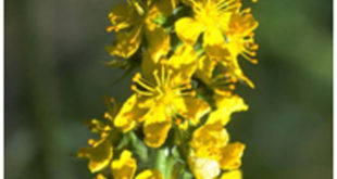 Agrimony Distinctive Features
