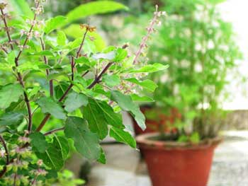Benefits of Tulsi for Your Body