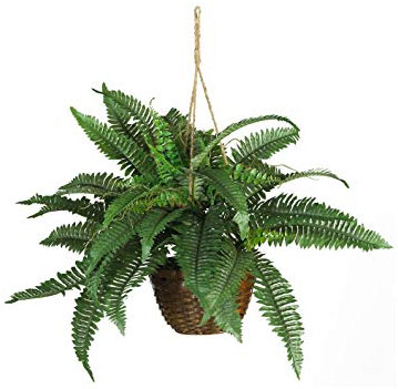 Boston Fern Air Purifier Plant