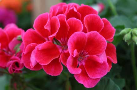 Facts About Geranium