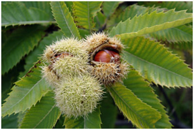 Horse chestnuts helps in treating varicose veins due to its astringent properties