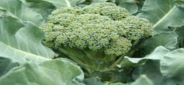health benefits of consuming broccoli
