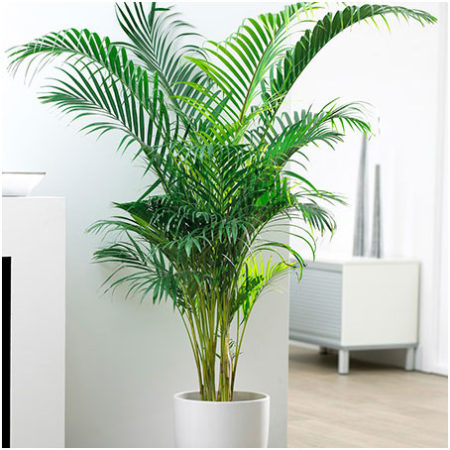 Areca Palm Air Filtering Plant