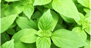 Anti-inflammatory foods and holy basil leaves for PCOS