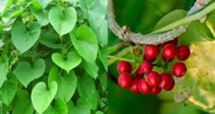 Amazing Benefits of Giloy : The Ayurvedic Root of Giloy Family, Active Compounds,How To Consume Giloy