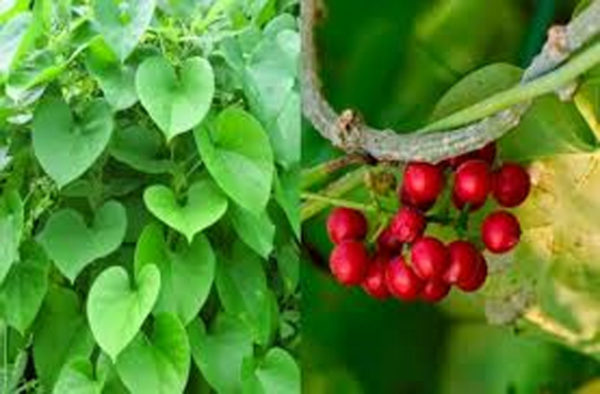 Amazing Benefits of Giloy
