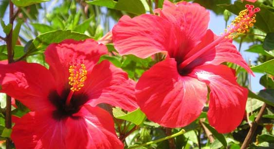 Hibiscus Flower Home Remedy for Hair Growth