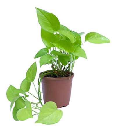 Money plant Air Filtering Plant