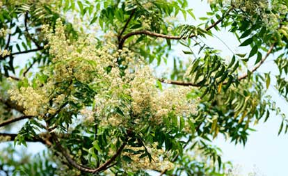 Neem leaves water is very useful in curing cervical pain